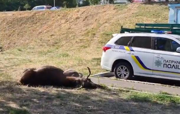 В Киеве в ДТП погиб лось