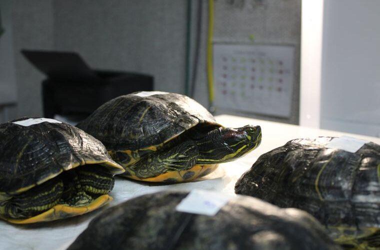 У Києві врятували 40 черепах, які примерзли панцирами до льоду на обмілілому озері